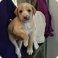 Adopt A Pet :: Cinnamon - Groton, MA