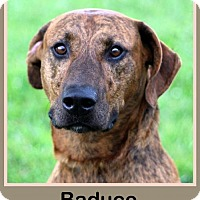 Plott Hound Mix Dog for adoption in Sullivan, Indiana - BaDuce