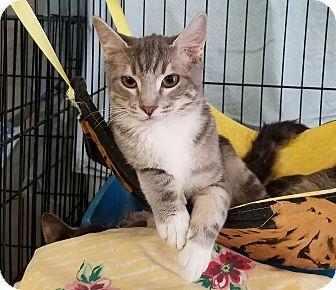 Domestic Shorthair Kitten for adoption in Fallbrook, California - Grayson