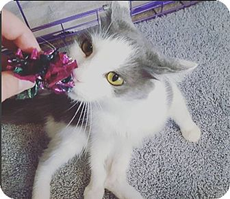 Domestic Longhair Cat for adoption in Lexington, Kentucky - August