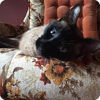 Adopt A Siamese Cat In Massachusetts