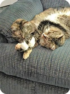 Domestic Mediumhair Cat for adoption in Absecon, New Jersey - Grace & Mr. Smitty Courtesy Post
