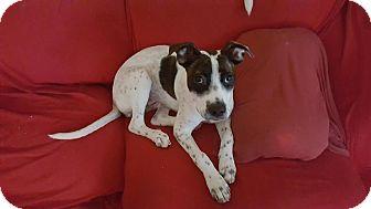 Pointer Mix Dog for adoption in North Brunswick, New Jersey - Cheyenne