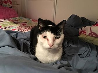 Domestic Shorthair Cat for adoption in Herndon, Virginia - Panda