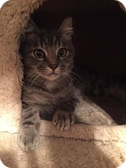American Shorthair Cat for adoption in Toms River, New Jersey - Flash
