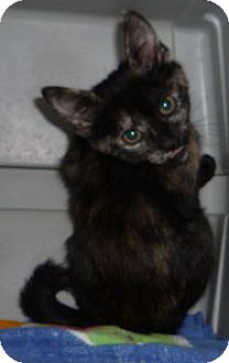 Exotic Kitten for adoption in Dallas, Texas - Ember