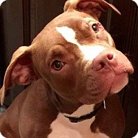 Pit Bull Terrier Puppy for adoption in Kansas City, Missouri - Java Bean
