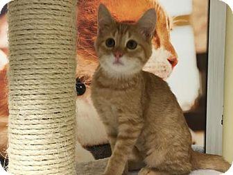 Domestic Shorthair Kitten for adoption in ROSENBERG, Texas - Tinkerbell