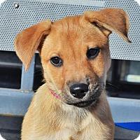 German Shepherd Dog/Husky Mix Puppy for adoption in Gretna, Nebraska - Stella *Kya's Pupppy*