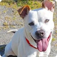 Adopt A Pet :: Archie - Spring Lake, NJ