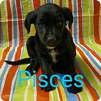 Adopt A Pet :: Pisces - Garden City, MI