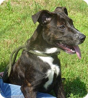 Terrier (Unknown Type, Medium) Mix Dog for adoption in Livingston, Texas - Sable