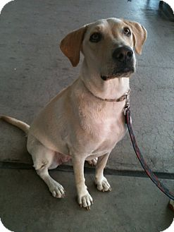 Labrador Retriever Mix Dog for adoption in Phoenix, Arizona - Mia