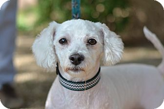 Bichon Frise Mix Dog for adoption in Gilbert, Arizona - Linus