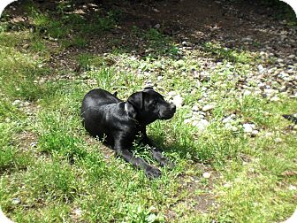 Labrador Retriever Mix Puppy for adoption in Gig Harbor, Washington - Tux