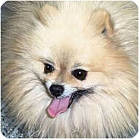 Adopt A Pet :: Howie - Kokomo, IN