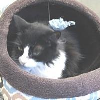 Domestic Shorthair Cat for adoption in Libby, Montana - Honey