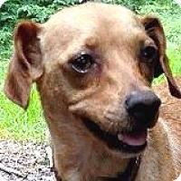 Adopt A Pet :: Brooke Brocade - Houston, TX
