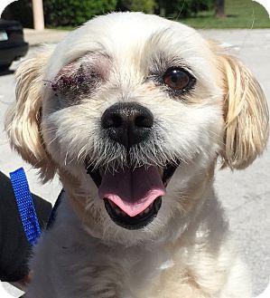 Maltese Dog Rescue Orlando Fl