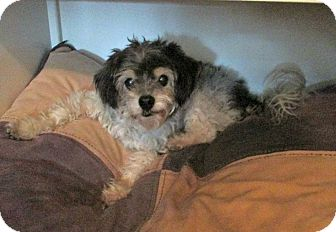 Shih Tzu/Terrier (Unknown Type, Small) Mix Dog for adoption in Studio City, California - Monty