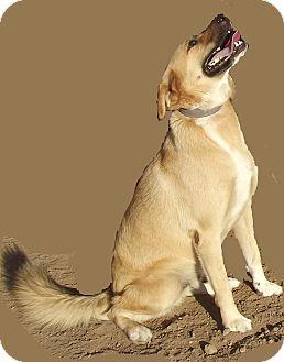 Labrador Retriever/Hound (Unknown Type) Mix Dog for adoption in San Ysidro, California - Skippy