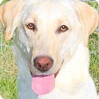 Adopt A Pet :: EMMY(SO SMART-GORGEOUS PB LAB! - Wakefield, RI