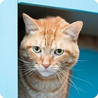 Adopt A Pet :: Mick *Declawed* - Scottsdale, AZ