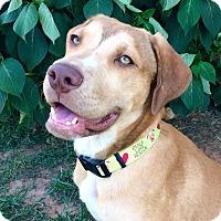 Adopt A Pet :: Barney - Uxbridge, MA