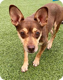 Chihuahua Mix Dog for adoption in Whitestone, New York - Cocoa