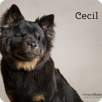 Chow Chow/Shepherd (Unknown Type) Mix Puppy for adoption in Chandler, Arizona - Cecil