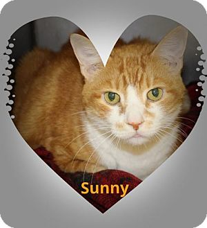 Domestic Shorthair Cat for adoption in Royal Palm Beach, Florida - Sunny