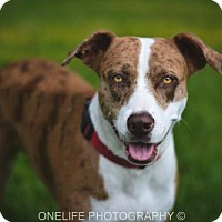 Adopt A Pet :: Callie - Lake Jackson, TX