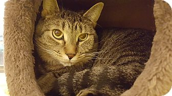 Domestic Shorthair Cat for adoption in Bensalem, Pennsylvania - Bart