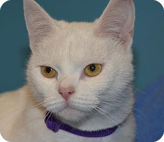Domestic Shorthair Cat for adoption in Cincinnati, Ohio - Blanche