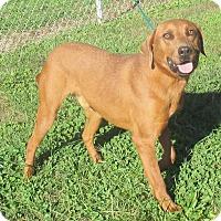 Vizsla Mix Dog for adoption in Reeds Spring, Missouri - Lance