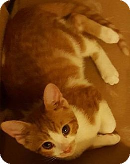 Domestic Shorthair Kitten for adoption in Eureka, California - Sherbet