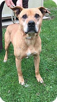 Mountain Cur/Labrador Retriever Mix Dog for adoption in Cadiz, Ohio - TURK