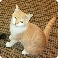 Domestic Shorthair Cat for adoption in Burlington, North Carolina - CREAM PUFF