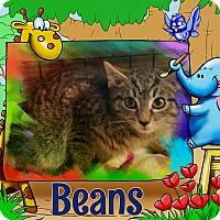 Adopt A Pet :: Beans - Bedford Hills, NY