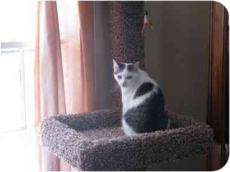 Domestic Shorthair Cat for adoption in Manalapan, New Jersey - Cady