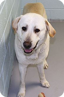 Great Pyrenees/Labrador Retriever Mix Dog for adoption in Muskegon, Michigan - Zeus