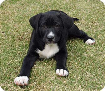 Labrador Retriever Mix Puppy for adoption in Alpharetta, Georgia - Guinness
