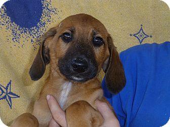 Labrador Retriever/Hound (Unknown Type) Mix Puppy for adoption in Oviedo, Florida - Sam