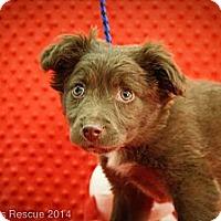 Adopt A Pet :: Puddin'Head - Broomfield, CO