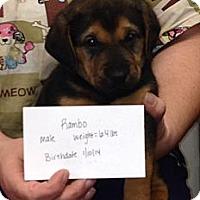 Adopt A Pet :: Rambo - Chicago, IL