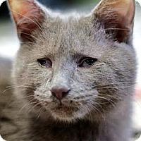 Adopt A Pet :: Allman - Alexandria, VA