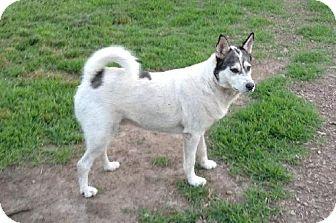 Siberian Husky Dog for adoption in Alexandria, Virginia - Jack
