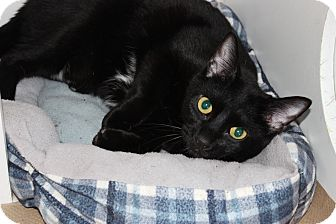 Domestic Shorthair Kitten for adoption in Secaucus, New Jersey - Rex