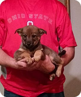 German Shepherd Dog/Norwegian Elkhound Mix Puppy for adoption in South