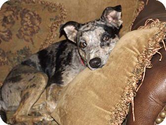 Catahoula Leopard Dog Mix Dog for adoption in Deer Lodge, Tennessee - Deko
